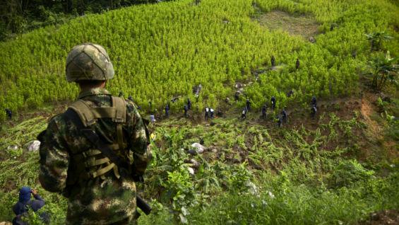 Campesinado del Bajo Cauca antioqueño exige cumplimiento del gobierno en la sustitución de cultivos - coca_5_3