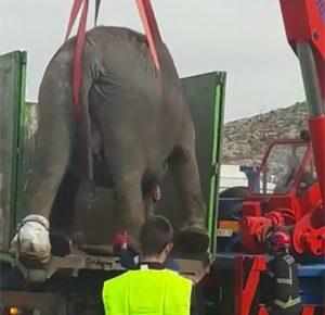 Muere un elefante en accidente de un camión de circo en España - c2ae7de3f63d8c663c52b8525ef03536d54622b2-300x290
