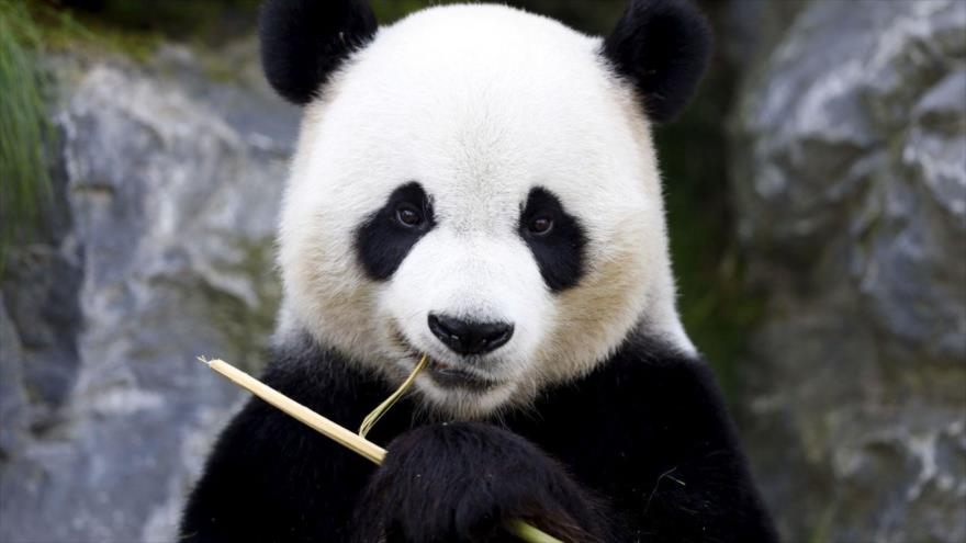 Una rara enfermedad blanquea las manchas negras de los pandas - 21213271_xl