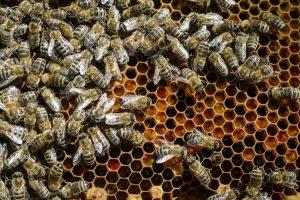 Jaque a los pesticidas que acaban con las abejas - abejas-panal-1200x799-300x200