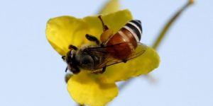 Jaque a los pesticidas que acaban con las abejas - th_1cce678baa2865fe866ba90e481edd63_abeja-polinización-300x150