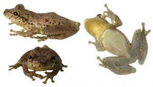 Colombia sorprende con el descubrimiento de una rana que croa como cabra - 6b49625d332d0b4d932e320a2ad42ca9b708558c-300x171
