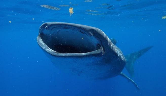 El tiburón ballena puede alcanzar los 130 años de vida - El-tiburon-ballena-puede-alcanzar-los-130-anos-de-vida_image_380