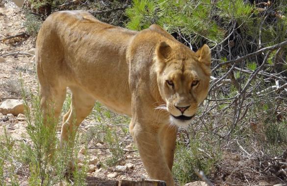 Dos leones víctimas del circo y la guerra se reencuentran en Sudáfrica - Dos-leones-victimas-del-circo-y-la-guerra-se-reencuentran-en-Sudafrica_image_380