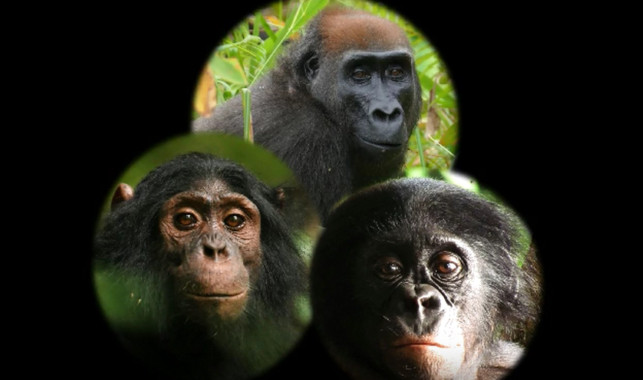Así reaccionan chimpancés, gorilas y bonobos ante una cámara en el bosque - Asi-reaccionan-chimpances-gorilas-y-bonobos-ante-una-camara-en-el-bosque_image_380