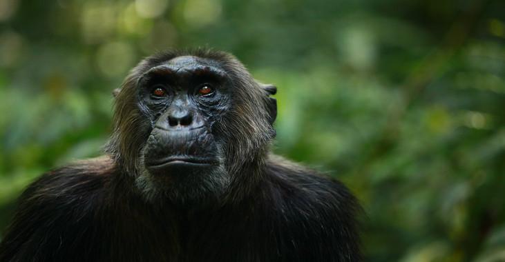 Los chimpancés pierden diversidad cultural y de comportamiento - Los-chimpances-pierden-diversidad-cultural-y-de-comportamiento_image_380