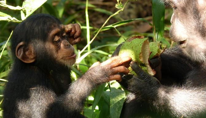 Los chimpancés pierden diversidad cultural y de comportamiento - foodshare-fatima_300_image671_405
