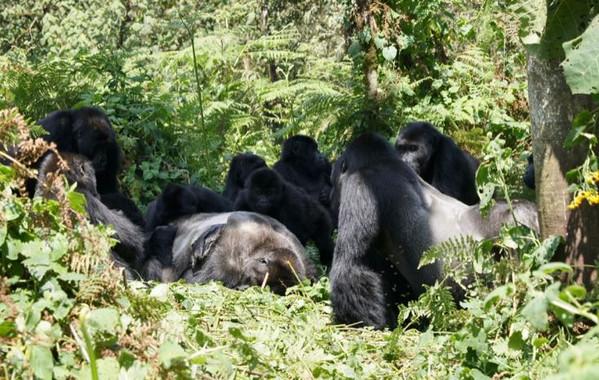 Los gorilas no solo velan los cadáveres de sus seres queridos, también los desconocidos - Los-gorilas-no-solo-velan-los-cadaveres-de-sus-seres-queridos-tambien-los-desconocidos_image_380