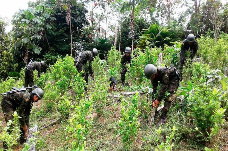 Operativos de erradicación violenta en Anorí ponen en peligro a la comunidad - coca-1-1