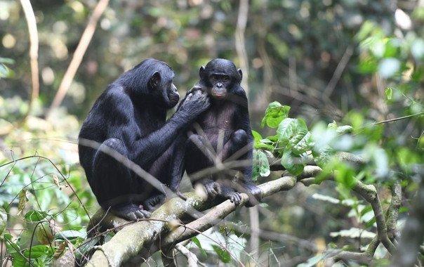Las bonobas se alían con sus hijos para encontrarles pareja - Las-bonobas-se-alian-con-sus-hijos-para-encontrarles-pareja_image_380