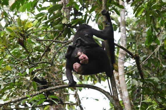 El sexo entre hembras de bonobo refuerza la cooperación y la amistad - El-sexo-entre-hembras-de-bonobo-refuerza-la-cooperacion-y-la-amistad_image_380