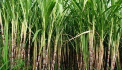 Cauca: Transformaciones territoriales producidas por la agroindustria de la caña de azúcar en las comunidades étnicas de López Adentro y El Tiple - maxresdefault-723x347_c