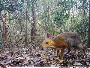 Imagen de uno de los ciervos ratón hallados en Vietnam. / Andrew Tilker
