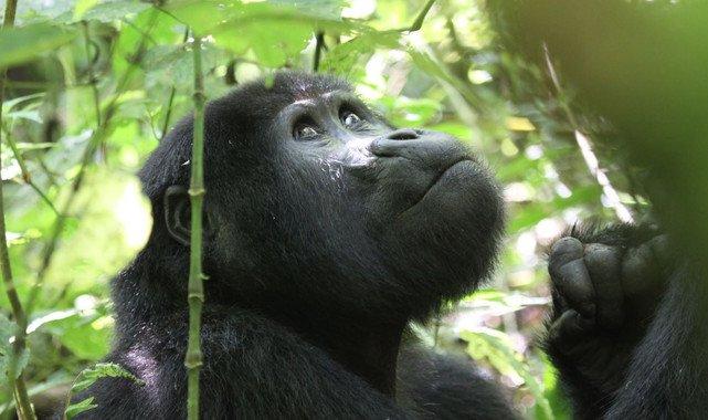 El turismo amenaza a los gorilas de montaña - El-turismo-amenaza-a-los-gorilas-de-montana_image_380