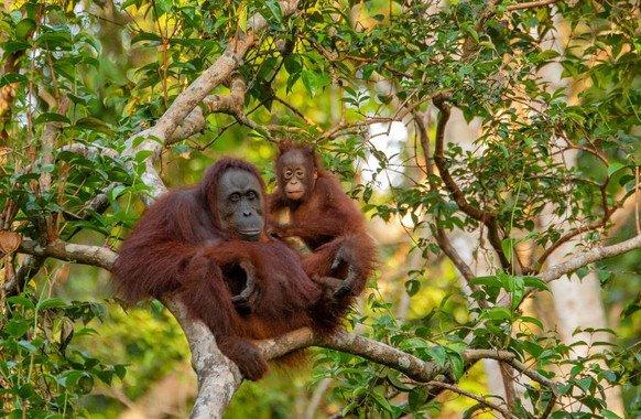 Los orangutanes están amenazados por la deforestación para la producción de aceite de palma. / Pixabay