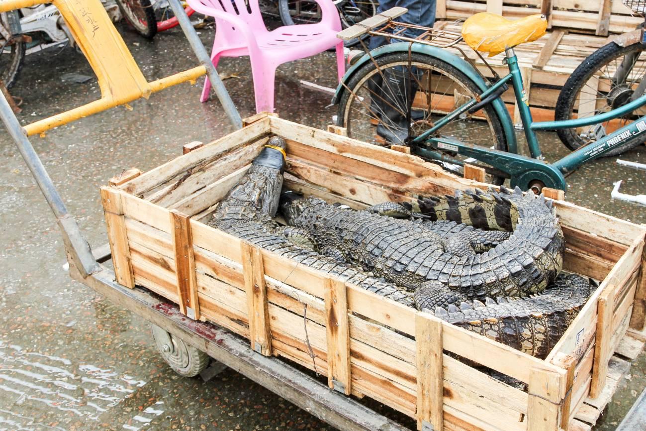 El tráfico ilegal de animales salvajes, una bomba sanitaria que ha estallado con el coronavirus - Comercio-de-cocodrilos