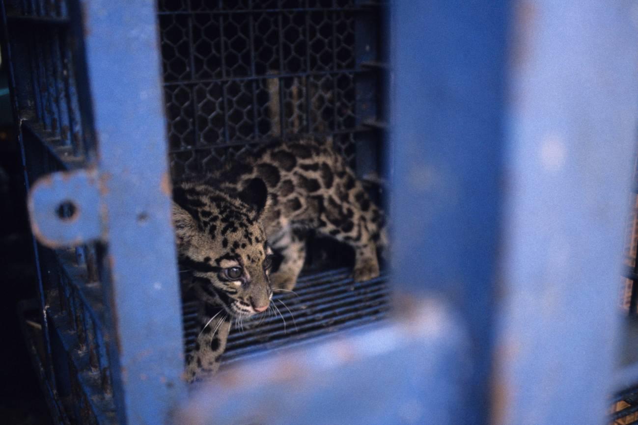 El tráfico ilegal de animales salvajes, una bomba sanitaria que ha estallado con el coronavirus - Comercio-de-especies