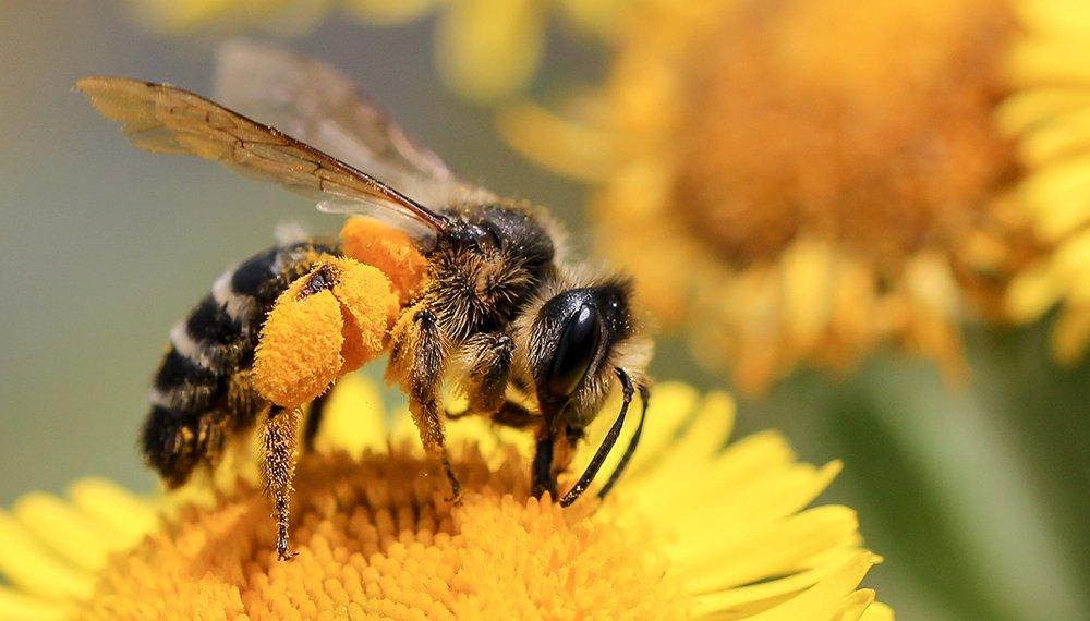 Día Internacional de las abejas y de los polinizadores Los insectos han proliferado en las ciudades gracias al confinamiento - abeja4