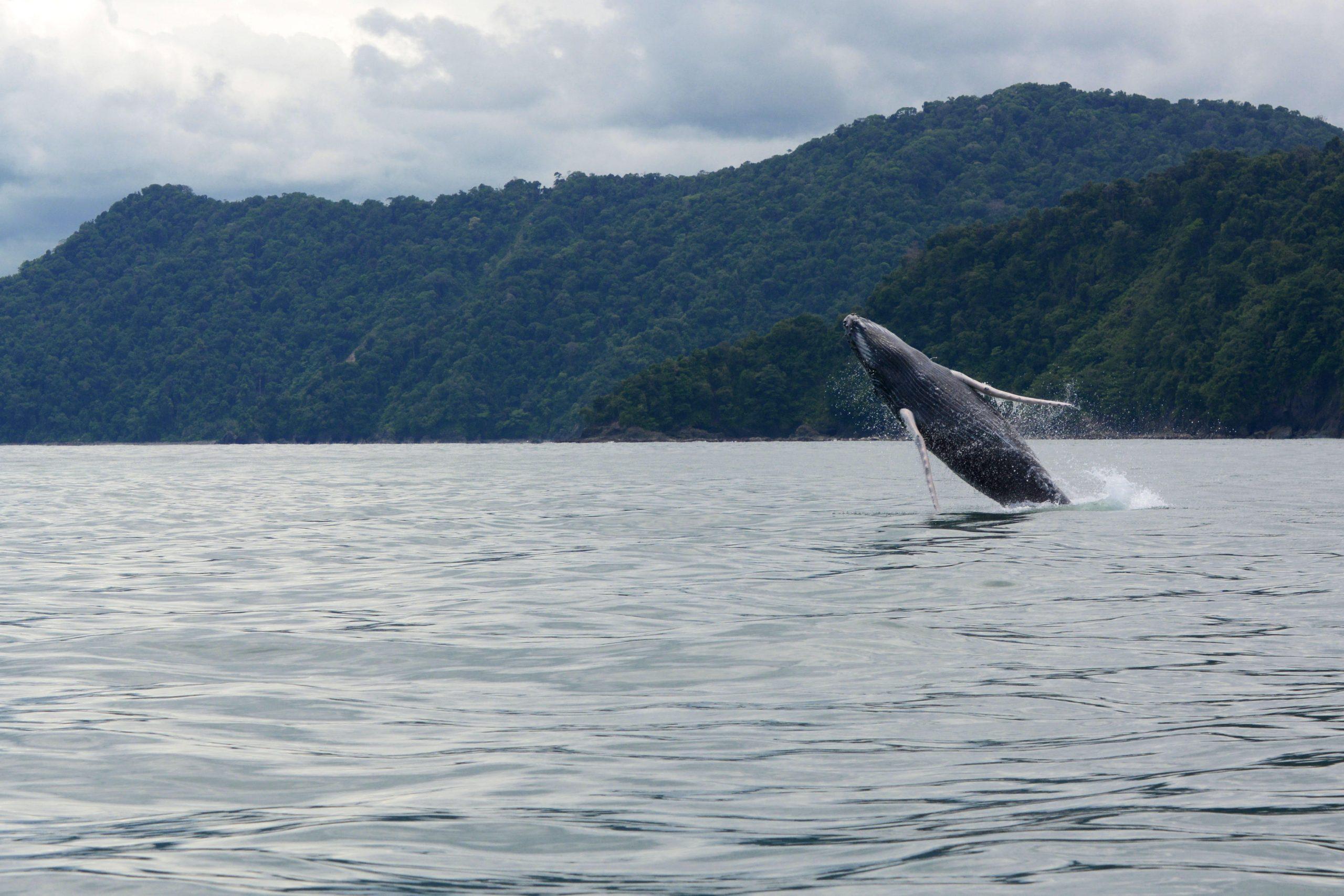 Ballenas Jorobadas comienzan a llegar al Parque Nacional Natural Utria - unnamed-1-1-scaled