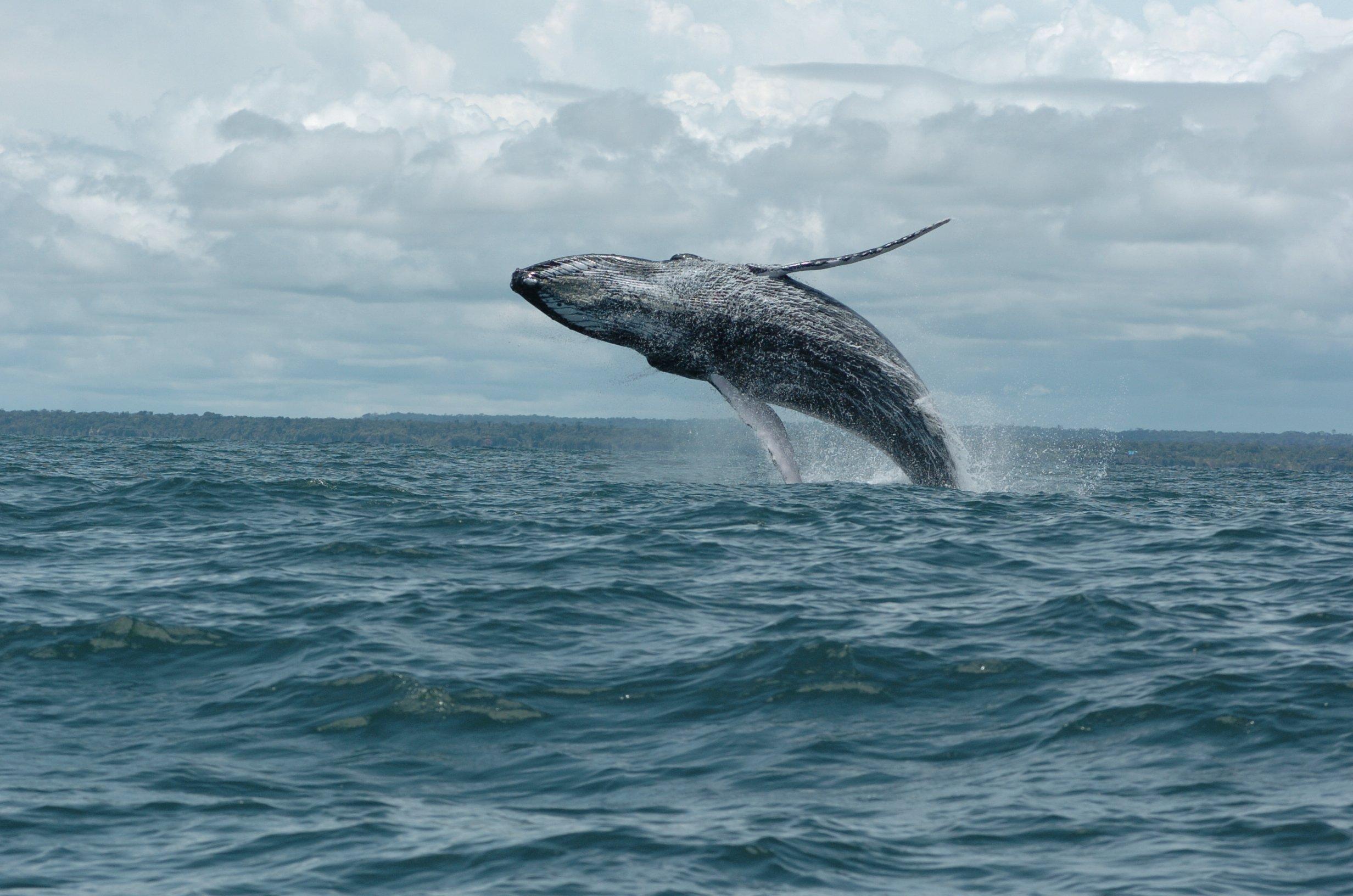 Ballenas jorobadas ya se encuentran en los Parques Nacionales Naturales del Pacífico colombiano - Salto-Ballenas.-Foto-Fundación-Yubarta