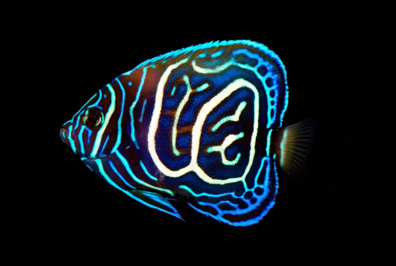 Por qué algunos peces tropicales se están volviendo más coloridos - Pez-hibrido-juvenil