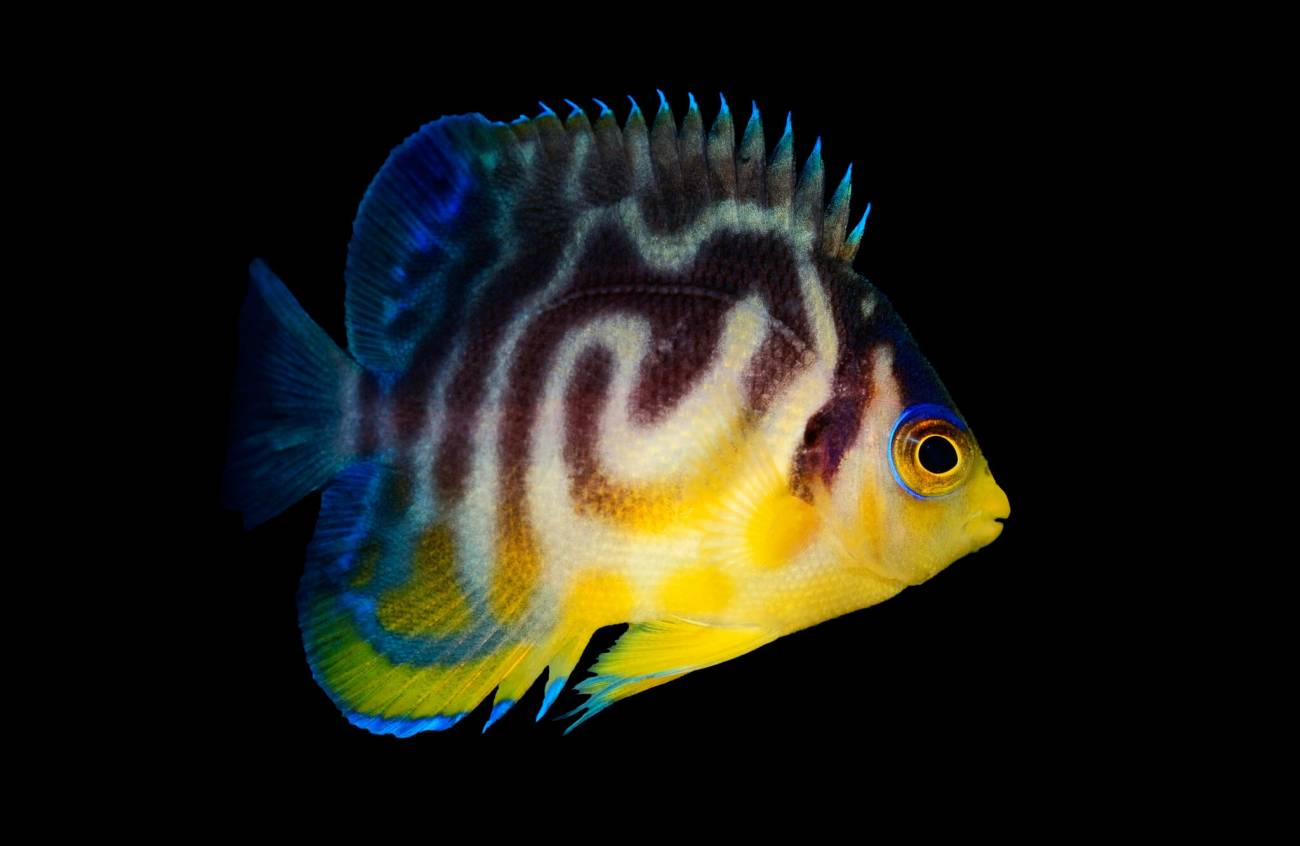 Por qué algunos peces tropicales se están volviendo más coloridos - Pez-hibrido