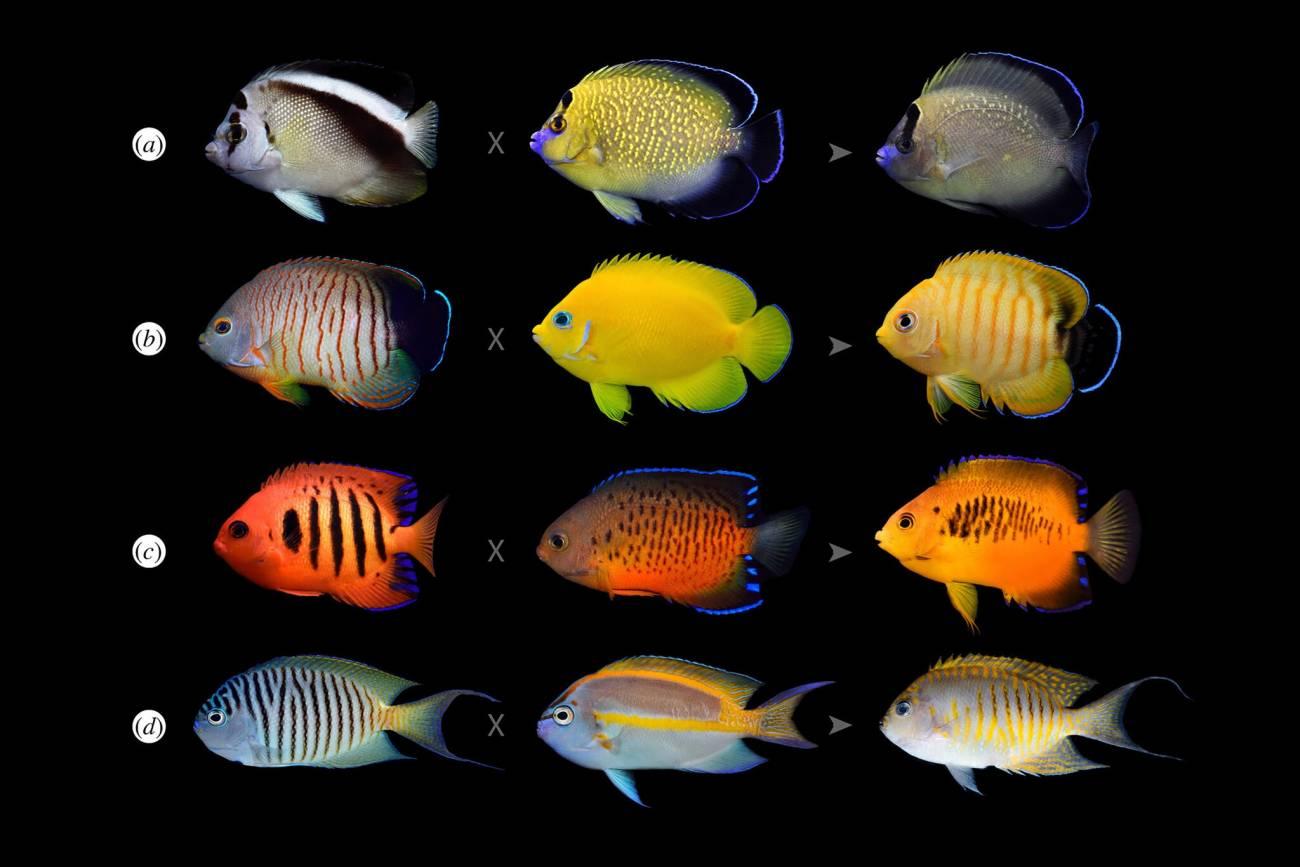 Por qué algunos peces tropicales se están volviendo más coloridos - Por-que-algunos-peces-tropicales-se-estan-volviendo-mas-coloridos