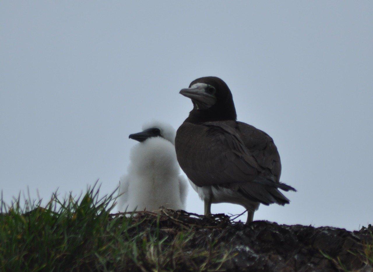 El Parque Nacional Natural Gorgona cuenta con la mayor línea de tiempo continua de información de aves marinas en Colombia - Foto-Luis-Payan-Sula-leucogaster-etesiaca