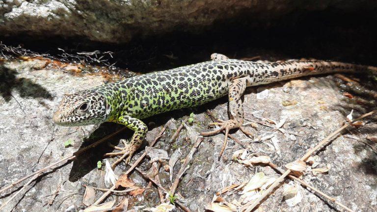 Ejemplar de lagarto verdinegro (Lacerta schreiberi) en la comarca de la Vera (Cáceres). / Adeline Marcos