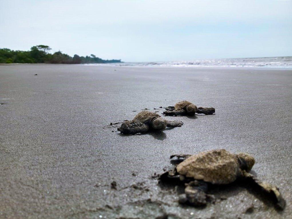 Más de 3770 huevos de tortuga caguama fueron sembrados en el primer mes de anidamiento en las playas del Parque Nacional Natural Sanquianga - RODRIGO-LOZANO-4