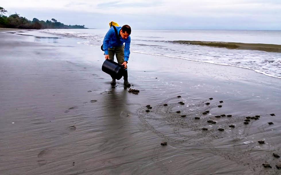 Más de 3770 huevos de tortuga caguama fueron sembrados en el primer mes de anidamiento en las playas del Parque Nacional Natural Sanquianga - unnamed-1