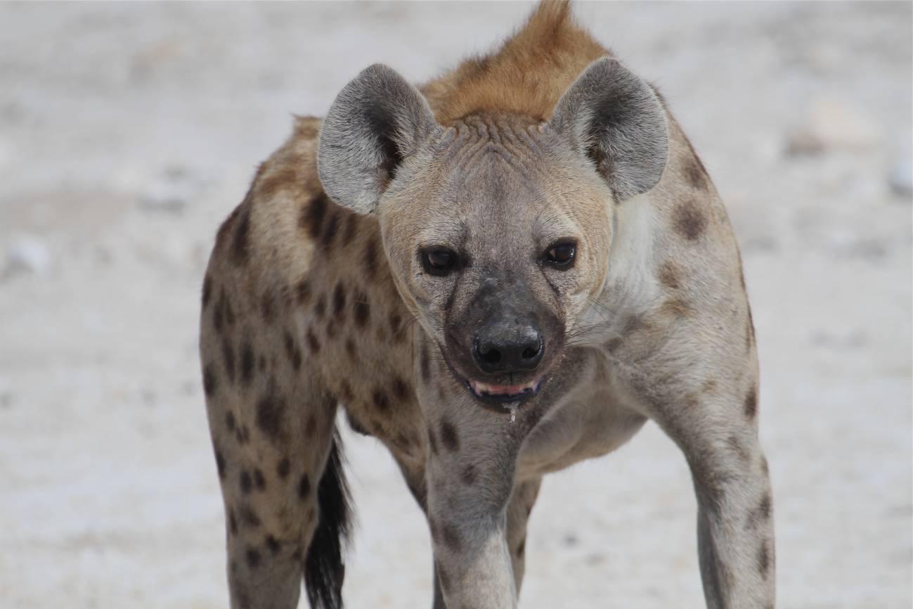 El 'amor-odio' entre leones y hienas o cómo compiten por la carroña - El-amor-odio-entre-leones-y-hienas-o-como-compiten-por-la-carrona