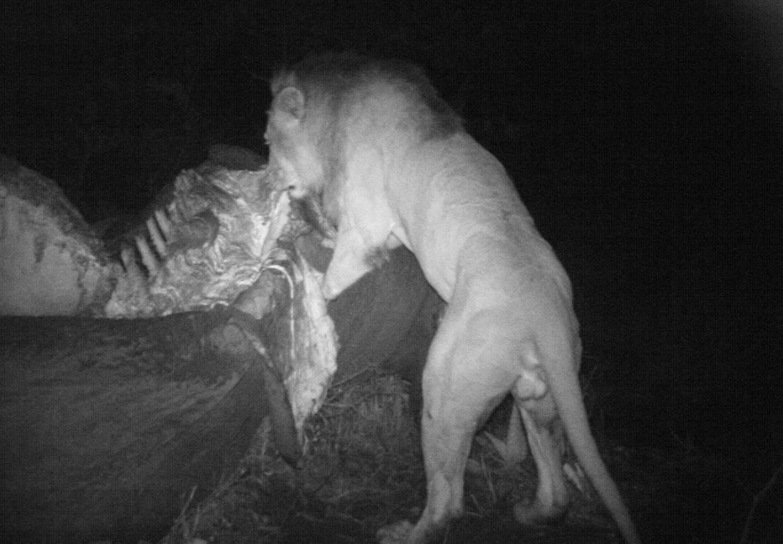 El 'amor-odio' entre leones y hienas o cómo compiten por la carroña - Leon