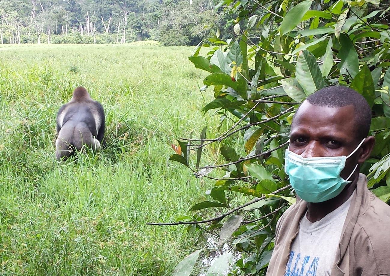 ¿Y si los animales salvajes se contagiaran de coronavirus? - Gorila