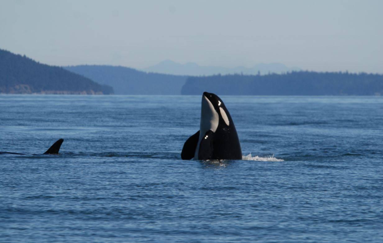 ¿Qué está matando a las 'ballenas asesinas'? - Orcas