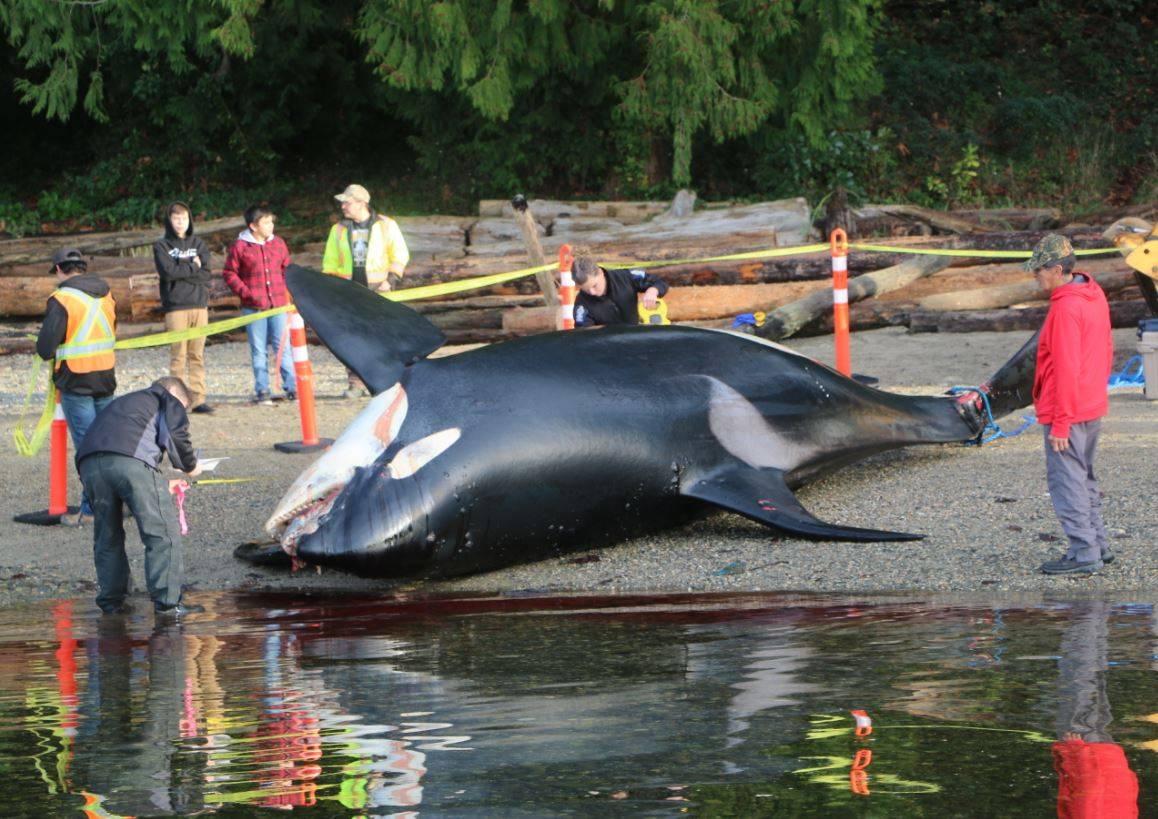 ¿Qué está matando a las 'ballenas asesinas'? - Que-esta-matando-a-las-ballenas-asesinas