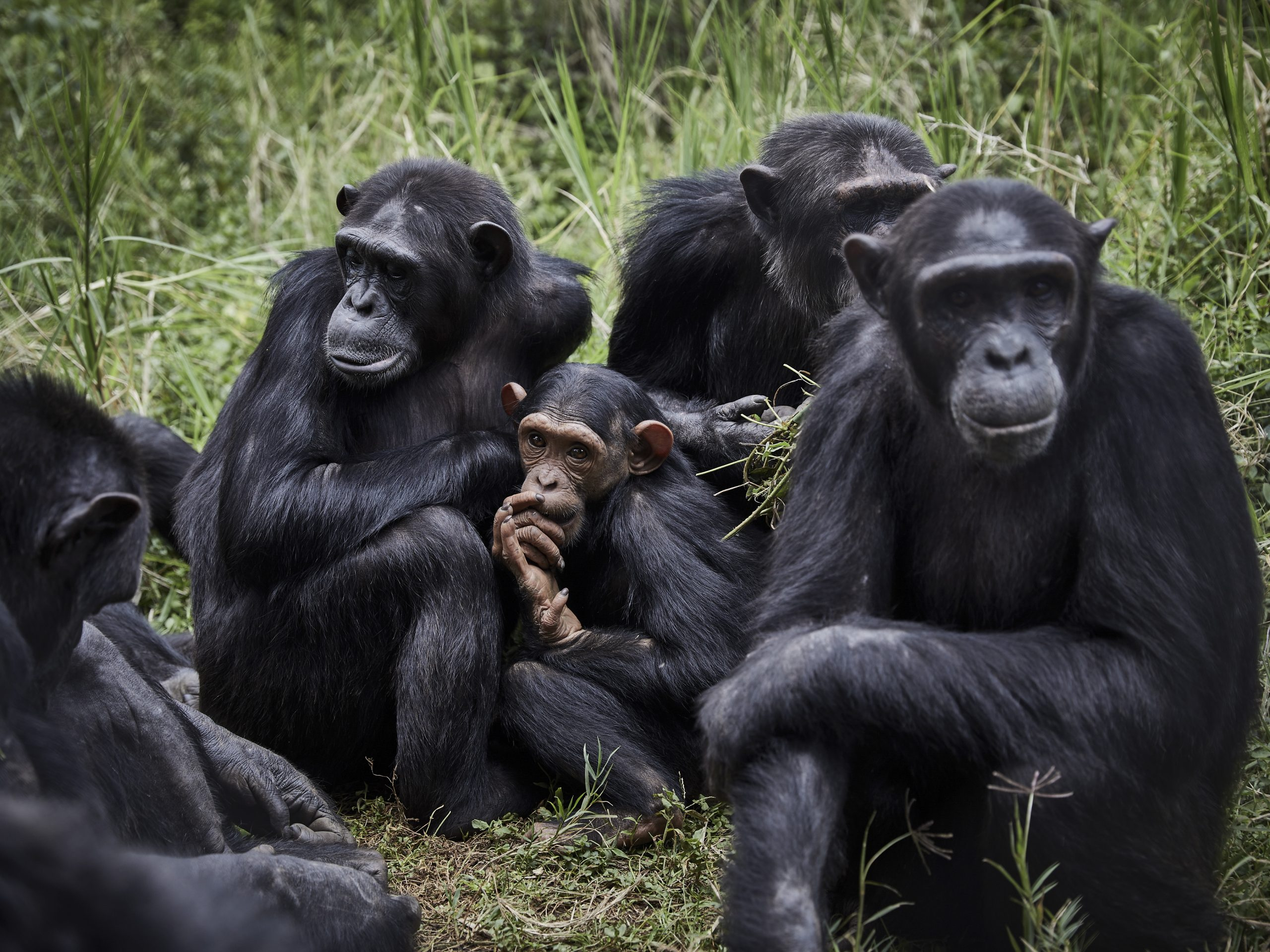 Los chimpancés, como los humanos, se unen ante las amenazas de otros grupos - 8012283671001-scaled-1