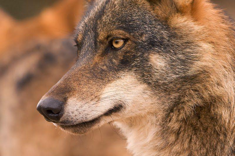 """La """"guerra"""" por el lobo a un paso de su protección - lobo"""