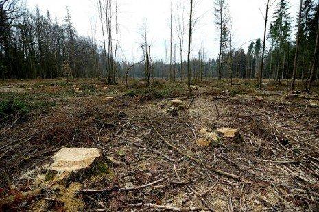 El Gobierno polaco autoriza talas en un bosque patrimonio de la UNESCO - 1c802619a792b0bef3dc8720586e2306c2baaf54w-465x310-1