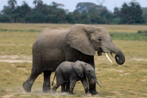 Dos especies de elefantes africanos están en peligro de extinción - 9e5f8f5098869c336d4b2b91801761db7c7f32d9-495x330-1