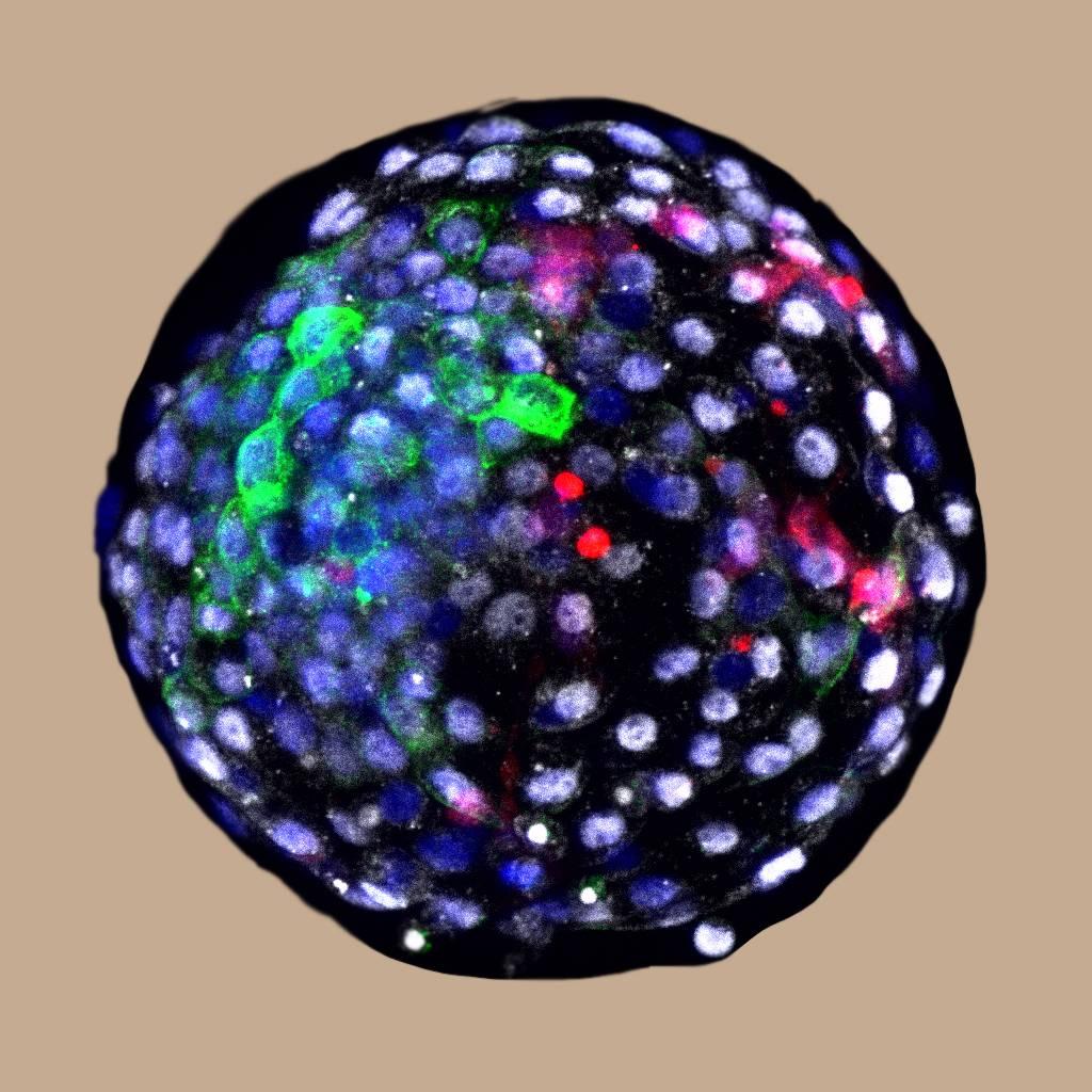 Científicos de China y EEUU generan embriones quiméricos humano-mono - Blastocisto-de-quimera
