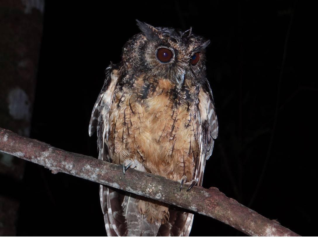 Dos nuevas especies de búhos chillones descubiertas en la selva amazónica - Buho-chillon