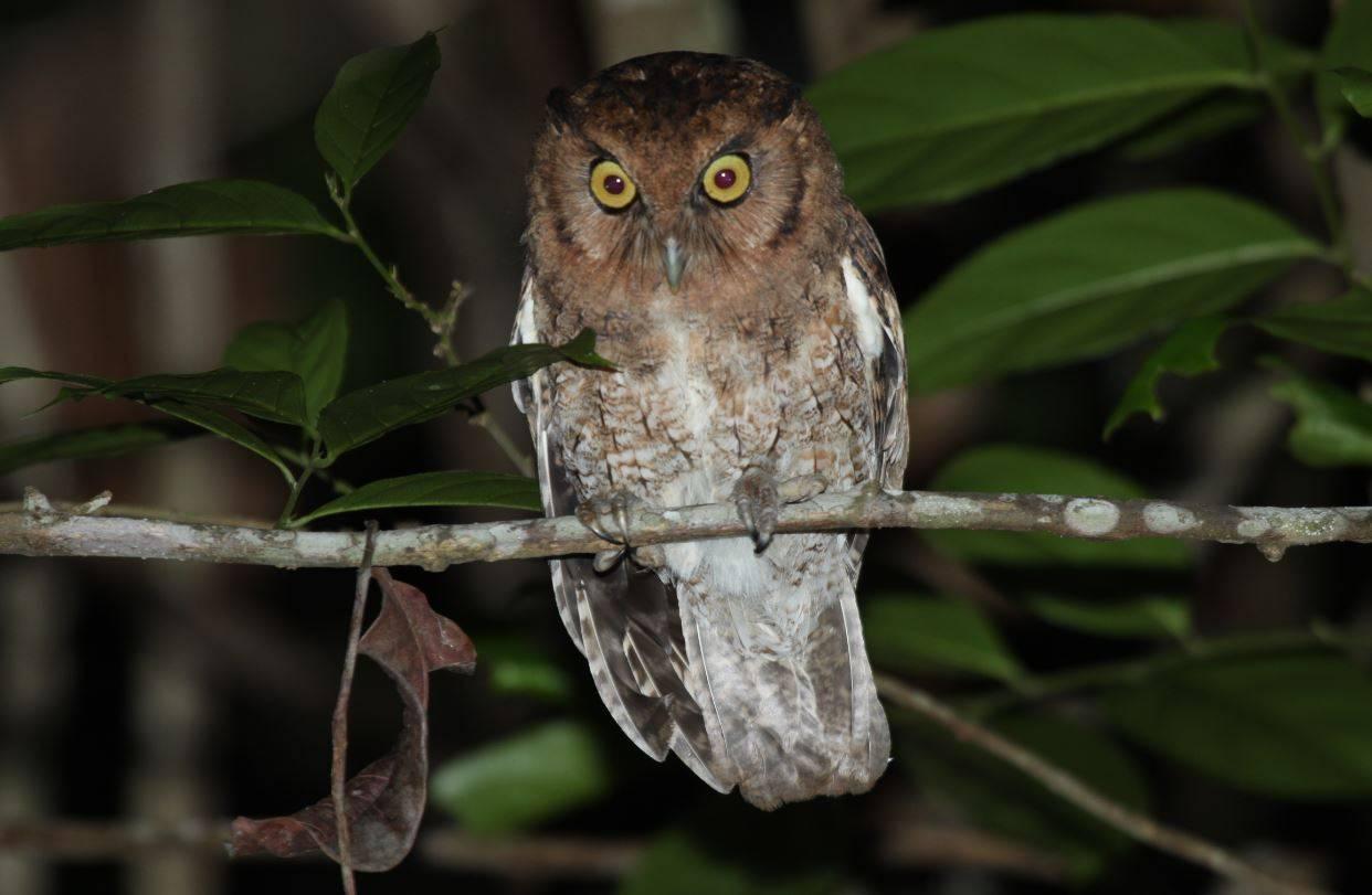 Dos nuevas especies de búhos chillones descubiertas en la selva amazónica - Dos-nuevas-especies-de-buhos-chillones-descubiertas-en-la-selva-amazonica-1