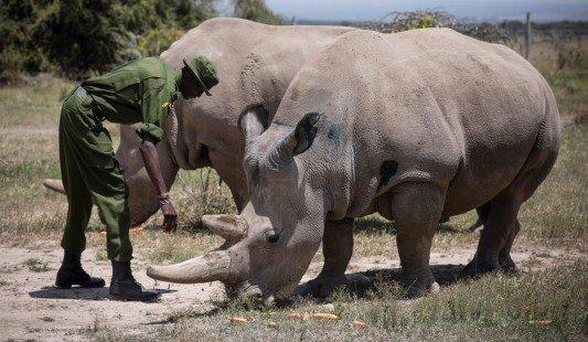12 embriones viables de rinoceronte blanco del norte listos para implantarse - rinocerontes-blancos-EFEverde-533x310-1