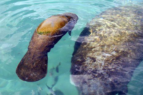 Ambientalistas demandarán a EEUU por la muerte masiva de manatíes en Florida - 4470244-465x310-1
